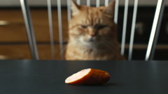 A Cat Staring at a Sausage Stock Footage