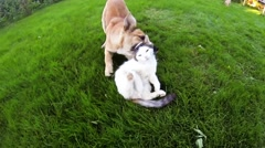 Cat vs Dog, play fight Stock Footage