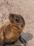 Baby Sea Lion Sitting Up Stock Photos