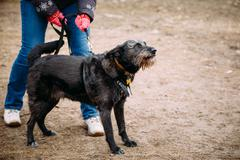 Black color mixed breed dog barking at training. Dangerous dog - stock photo