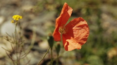 Alpine poppy red summer Stock Footage