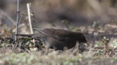 Close up of a female blackbird searching for food on the ground Stock Footage