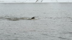 Man swims in cold river water in winter. Walrus Stock Footage