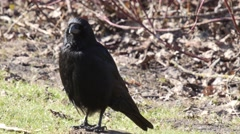 Carrion crow sitting on the ground and look around very alert Stock Footage