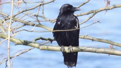 Carrion crow resting on a tree near a river bank Stock Footage