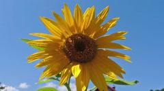 Common sunflower - Helianthus annuus with blue sky in the background Stock Footage