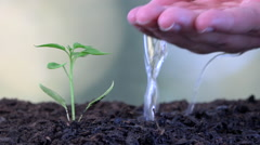 Stock Video Footage of Middle-aged caucasian farmer man hand watering young chili plant seedling