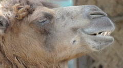 Head of a camel close up for animal background  Stock Footage
