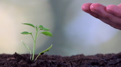 Young caucasian farmer man hand watering young chili plant seedling - stock footage