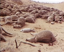 Dead Sheep/Livestock, During Drought (Early 1980s) Australia. Stock Footage