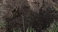 Man planting in the ground blackberry bush. Blackberry bush. Farmland. Tree p - stock footage