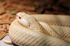 Snake in the terrarium - Albino indian cobra Stock Photos