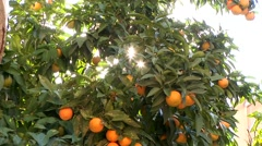 Golden sunlight through citrus tree leaves - oranges ripe for picking Stock Footage