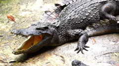 Group of Crocodiles Relaxing Together. Stock Footage