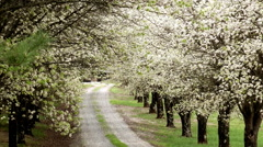 White blossom canopy dirt road falling petals Stock Footage