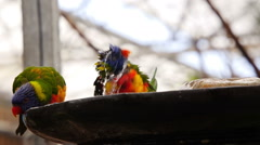 Stock Video Footage of Rainbow Lorikeet (Trichoglossus moluccanus