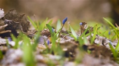 Blue spring snowdrop flowers on a glade Stock Footage