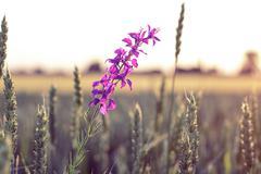 Beautiful purple wild flower Kuvituskuvat