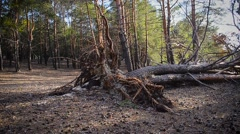 Fallen tree in the forest of needles Stock Footage