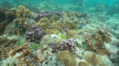 Ocean floor fringing reef corals French Polynesia - stock footage