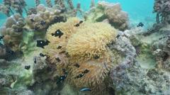 Sea anemone with fish three-spot dascyllus Tahiti Stock Footage