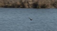 Bufflehead, Duck, Bird, Waterfowl, Fly, Land Stock Footage