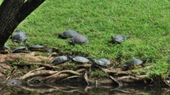 Over 2 dozen turtles near the water, under a Willow Tree Stock Footage