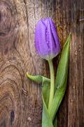 Violet tulip Stock Photos