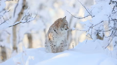 Lynx cub in the cold winter forest - stock footage