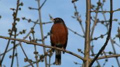Robin, American Robin, Bird Stock Footage