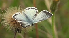 Chalk-hill Blue Butterfly (male). Close-up Stock Footage