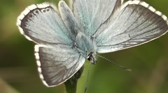 Chalk-hill Blue Butterfly (male) close-upperside shot. HQ Stock Footage