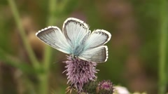 Chalk-hill Blue Butterfly (male) close-upperwing shot. High Quality. Stock Footage