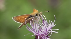 Essex Skipper feeding on a flower. Close-up Stock Footage