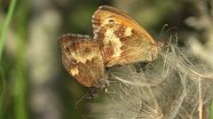 Gatekeeper butterflies pairing on a seed head. Stock Footage