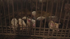 Pigs in an Iron Cage on the Farm - stock footage