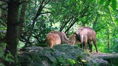 The Himalayan tahr (Hemitragus jemlahicus) Stock Footage