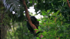 The binturong (Arctictis binturong), also known as bearcat Stock Footage
