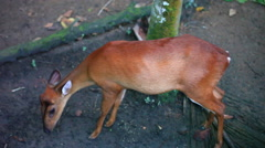 Muntjacs, also known as barking deer and Mastreani deer - stock footage