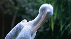 Pelicans are a genus of large water birds that makes up the family Pelecanidae Stock Footage