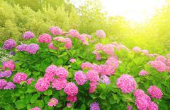 Pink Hydrangea flower (Hydrangea macrophylla) in a garden - stock photo
