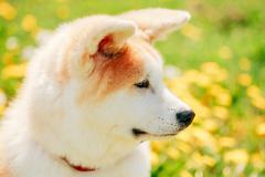 Akita Dog Or Akita Inu, Japanese Akita Puppy Stock Photos