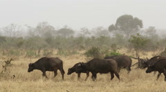 African buffalo herd, Kruger National Park, South Africa Stock Footage