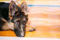 Young German Shepherd Dog Puppy Sitting On Wooden Floor. Alsatia Stock Photos
