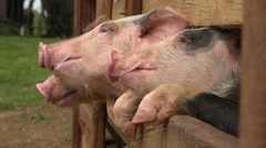 Pigs At Animal Farm Stock Footage