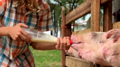 Feeding Milk To Pigs Stock Footage