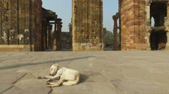Stray dog in the Qutb Minar complex, Delhi, India Stock Footage