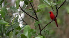 Male Northern Cardinal Bird Stock Footage