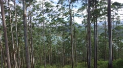 Eucalyptus or gum-tree in sri lanka forest Stock Footage