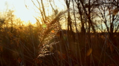Stock Video Footage of sunrise thru the reeds, sun thru the reeds, sunset on the riverbank